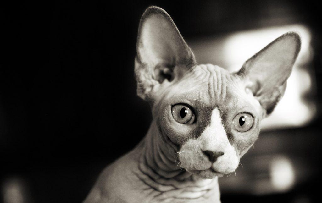 gato sin peli