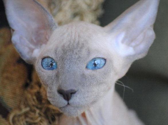 El gato Peterbald