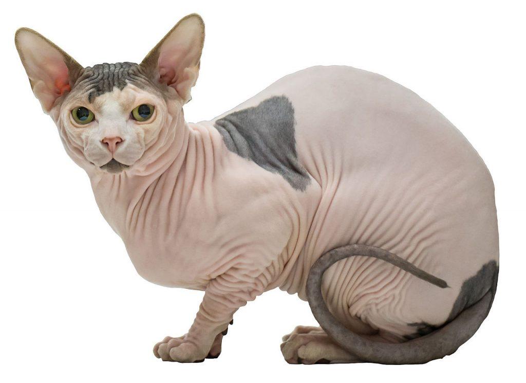 gato sin pelo precio