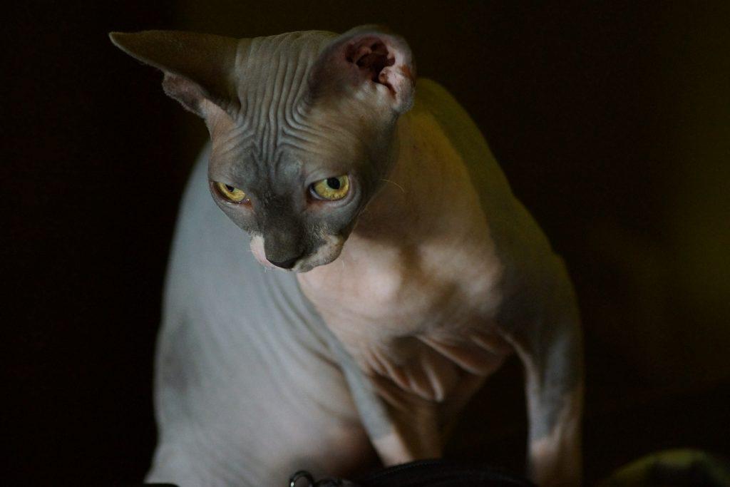Curiosidades gato sin pelo
