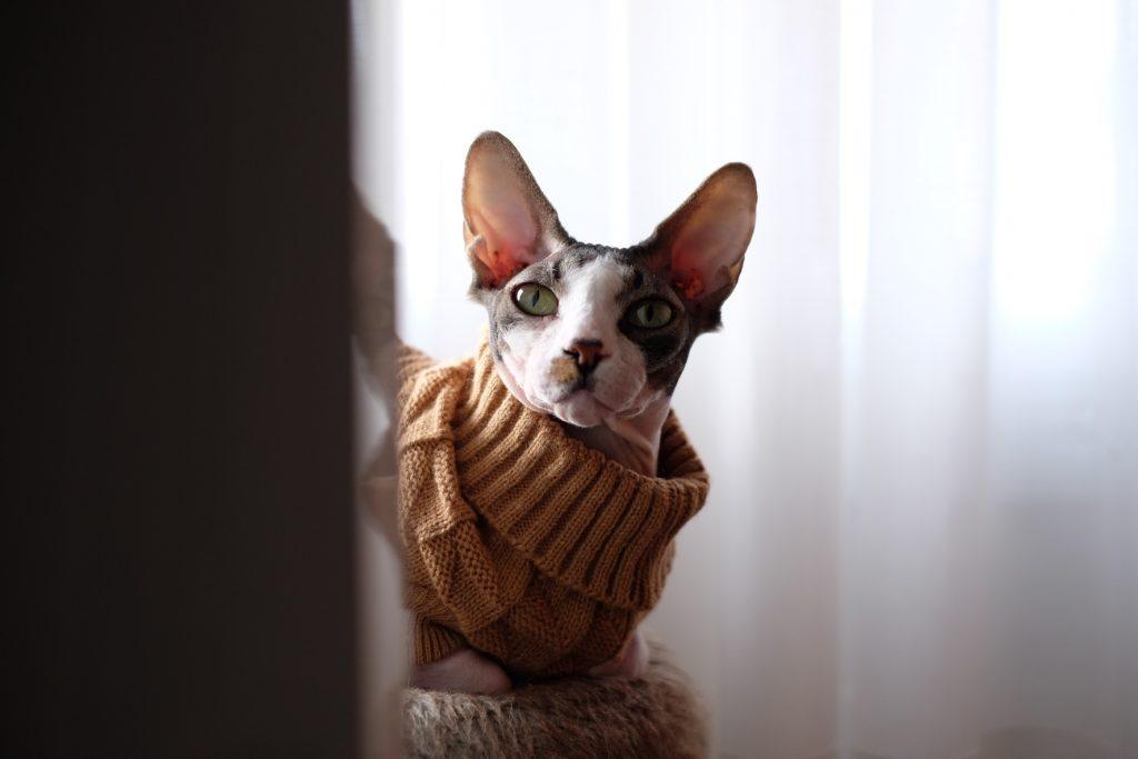 gato sin.pelo