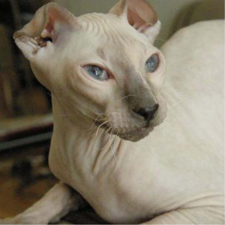 ucranian cat