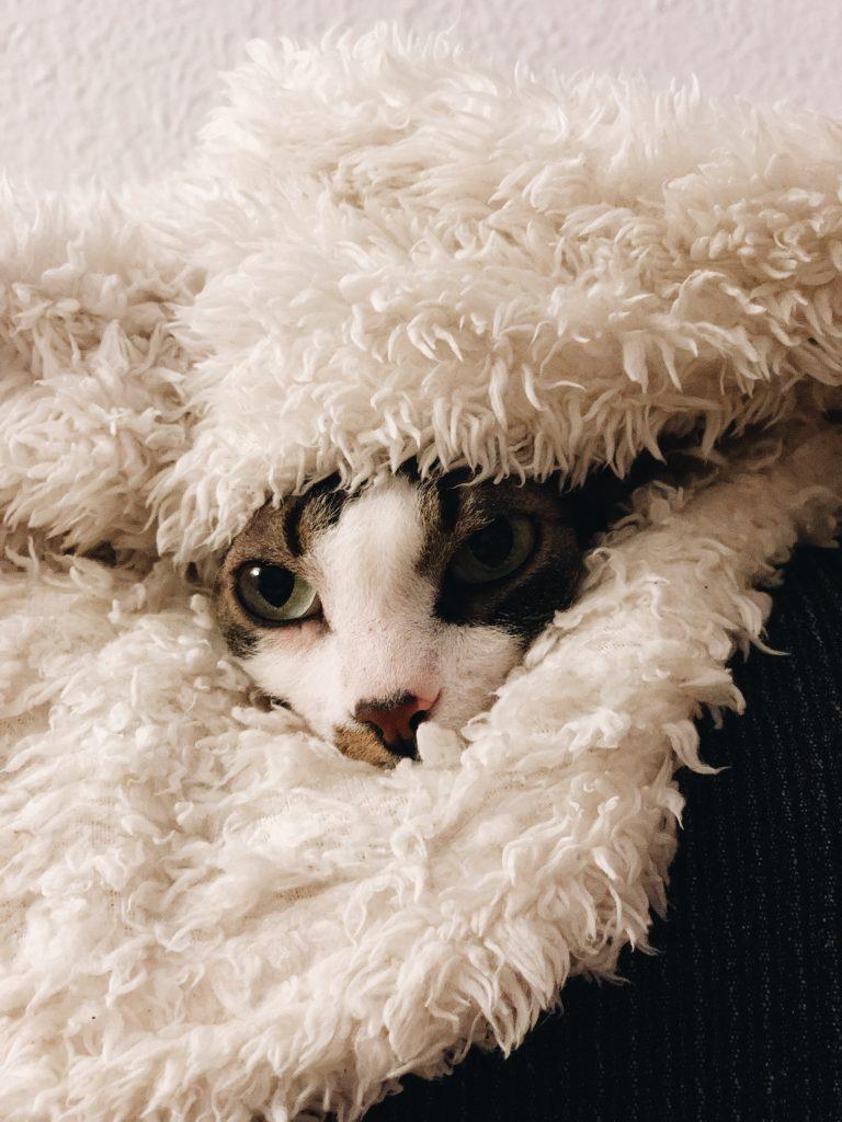 gatos calvos